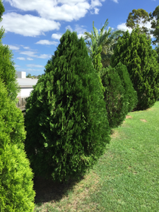 shrubs -landscaping